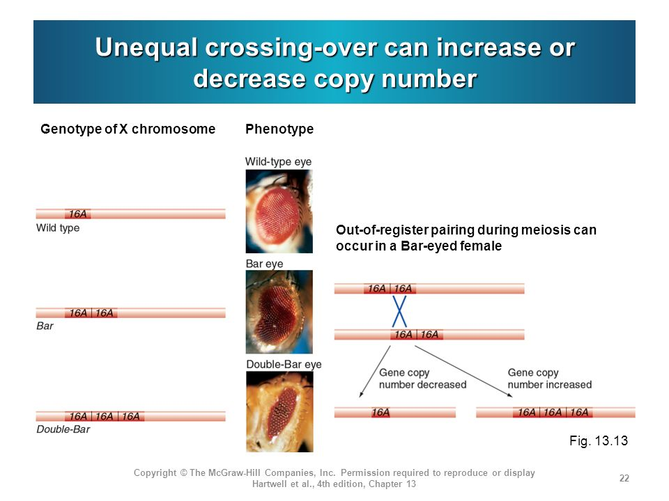 Unequal crossing-over can increase or decrease copy number Copyright © The McGraw-Hill Companies, Inc.