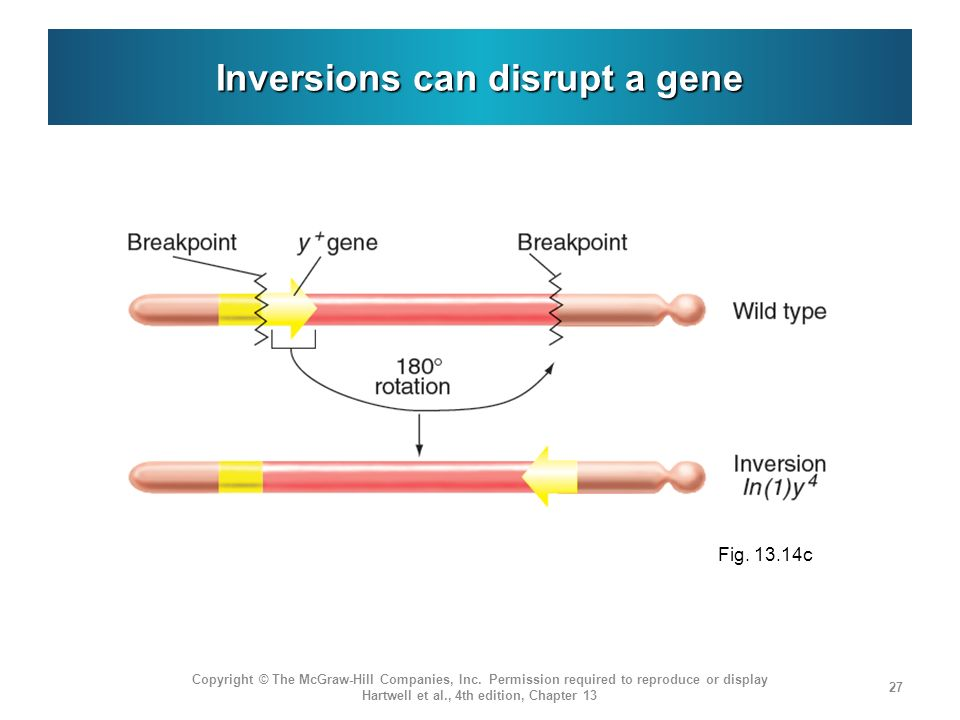 Inversions can disrupt a gene Copyright © The McGraw-Hill Companies, Inc.