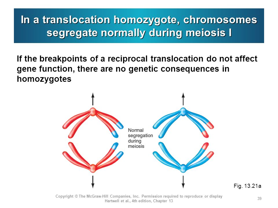 In a translocation homozygote, chromosomes segregate normally during meiosis I If the breakpoints of a reciprocal translocation do not affect gene function, there are no genetic consequences in homozygotes Copyright © The McGraw-Hill Companies, Inc.
