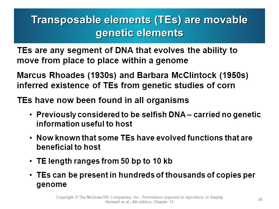 Transposable elements (TEs) are movable genetic elements TEs are any segment of DNA that evolves the ability to move from place to place within a genome Marcus Rhoades (1930s) and Barbara McClintock (1950s) inferred existence of TEs from genetic studies of corn TEs have now been found in all organisms Previously considered to be selfish DNA – carried no genetic information useful to host Now known that some TEs have evolved functions that are beneficial to host TE length ranges from 50 bp to 10 kb TEs can be present in hundreds of thousands of copies per genome Copyright © The McGraw-Hill Companies, Inc.