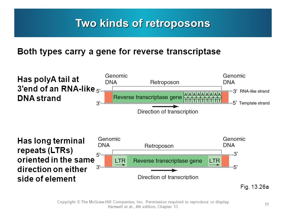 Two kinds of retroposons Both types carry a gene for reverse transcriptase Copyright © The McGraw-Hill Companies, Inc.