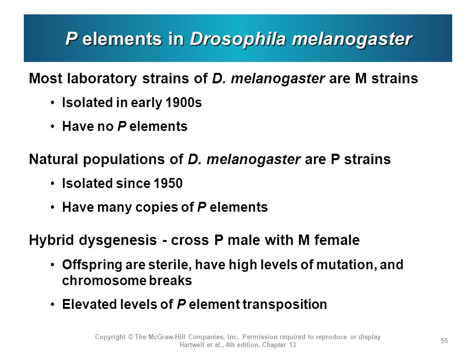 P elements in Drosophila melanogaster Most laboratory strains of D.