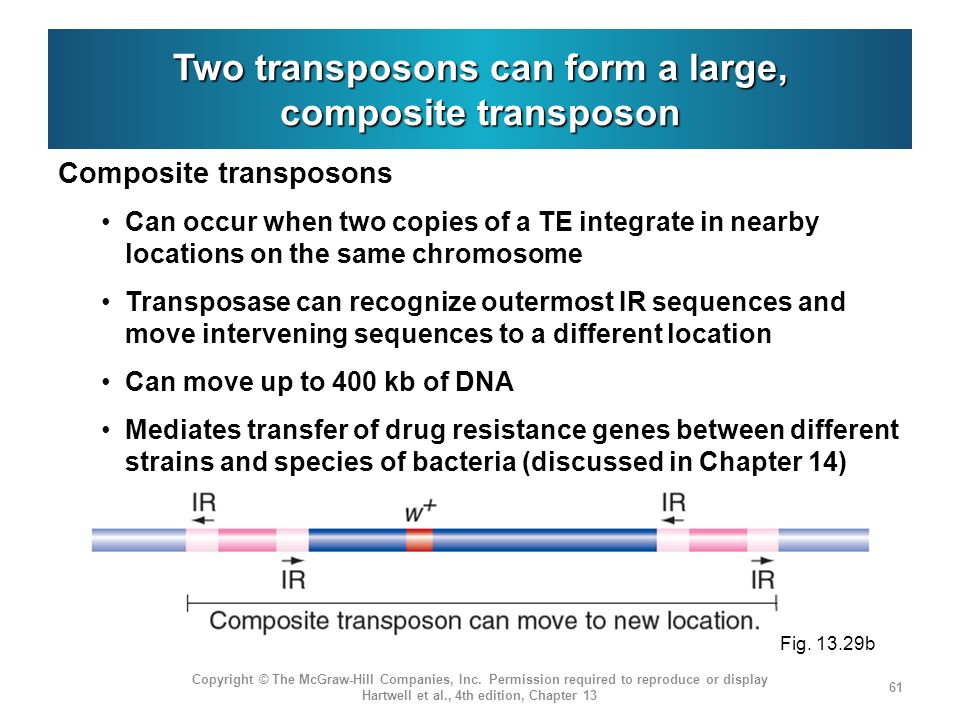 Two transposons can form a large, composite transposon Composite transposons Can occur when two copies of a TE integrate in nearby locations on the same chromosome Transposase can recognize outermost IR sequences and move intervening sequences to a different location Can move up to 400 kb of DNA Mediates transfer of drug resistance genes between different strains and species of bacteria (discussed in Chapter 14) Copyright © The McGraw-Hill Companies, Inc.