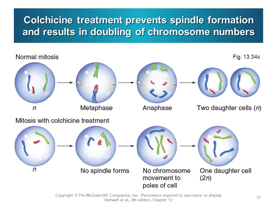 Colchicine treatment prevents spindle formation and results in doubling of chromosome numbers Copyright © The McGraw-Hill Companies, Inc. Permission r