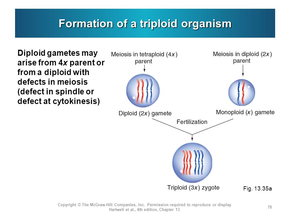 Formation of a triploid organism Diploid gametes may arise from 4x parent or from a diploid with defects in meiosis (defect in spindle or defect at cytokinesis) Copyright © The McGraw-Hill Companies, Inc.