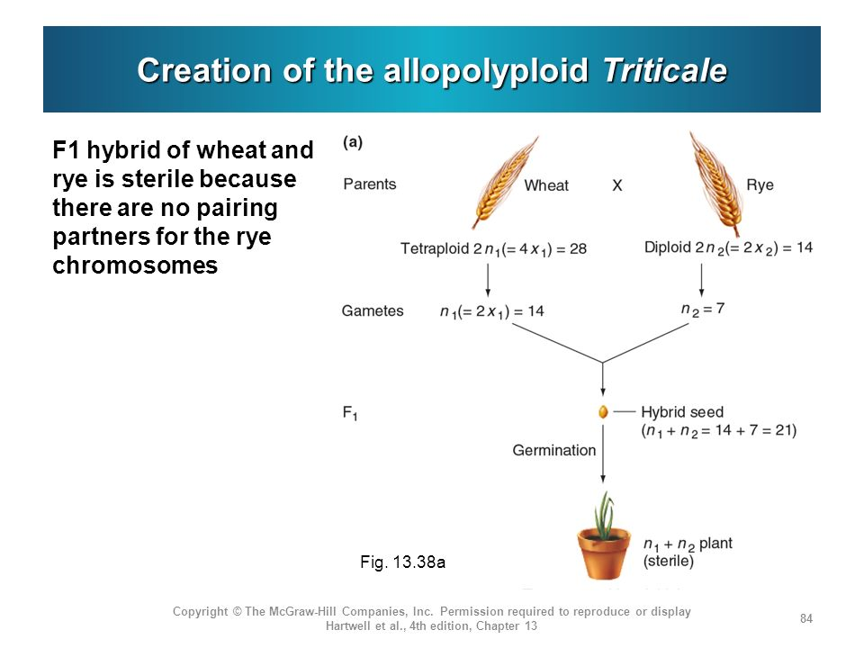 Creation of the allopolyploid Triticale F1 hybrid of wheat and rye is sterile because there are no pairing partners for the rye chromosomes Copyright © The McGraw-Hill Companies, Inc.