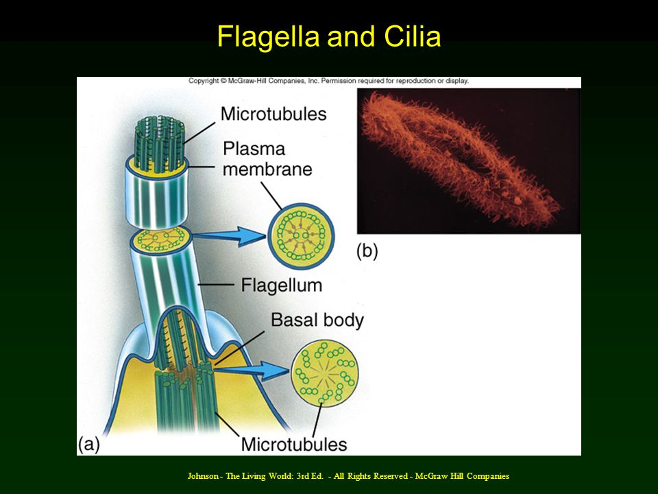 Johnson - The Living World: 3rd Ed. - All Rights Reserved - McGraw Hill Companies Flagella and Cilia