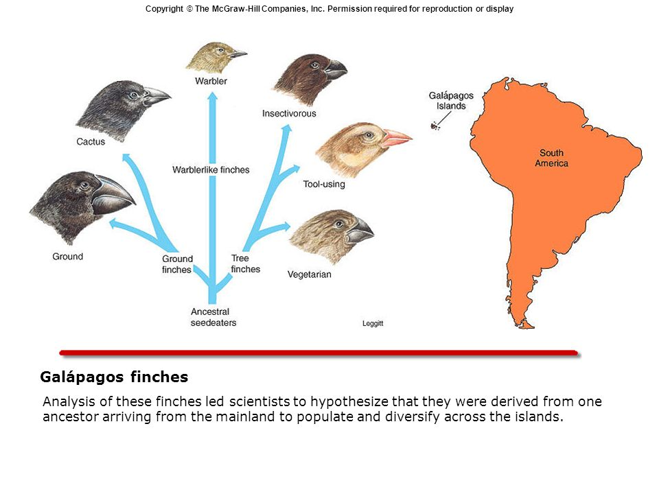 Copyright © The McGraw-Hill Companies, Inc. Permission required for reproduction or display Galápagos finches Analysis of these finches led scientists