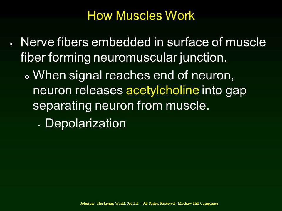 Johnson - The Living World: 3rd Ed. - All Rights Reserved - McGraw Hill Companies How Muscles Work Nerve fibers embedded in surface of muscle fiber fo