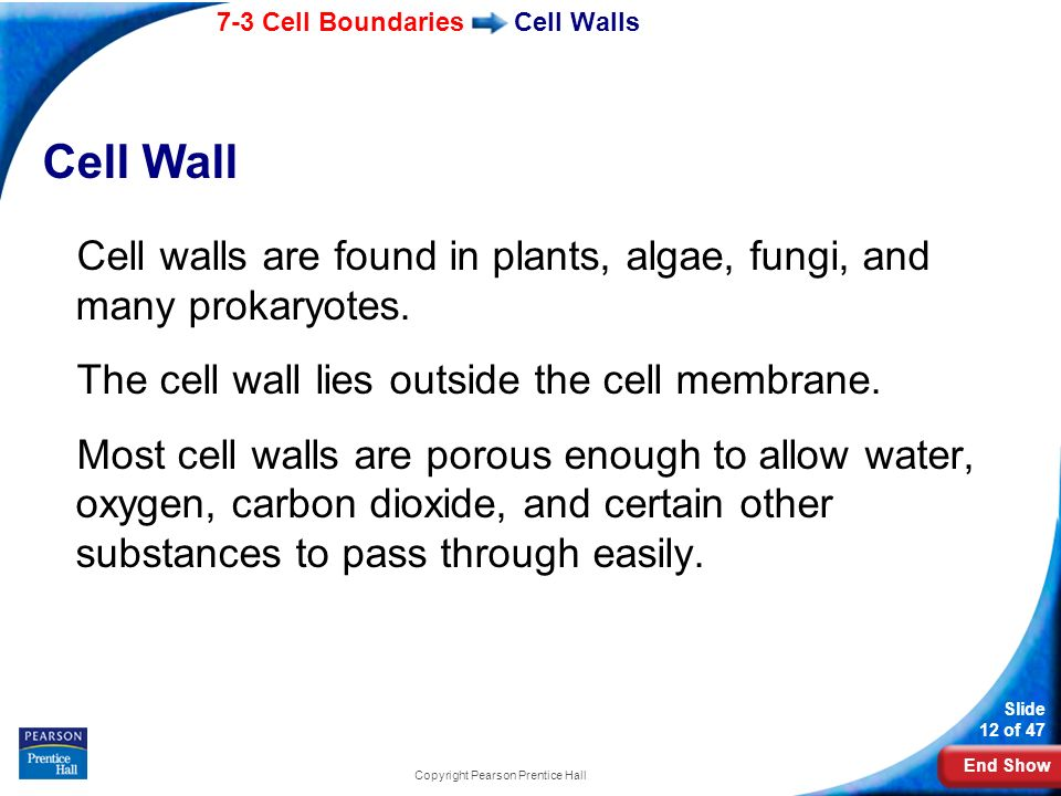 End Show 7-3 Cell Boundaries Slide 12 of 47 Copyright Pearson Prentice Hall Cell Walls Cell Wall Cell walls are found in plants, algae, fungi, and man