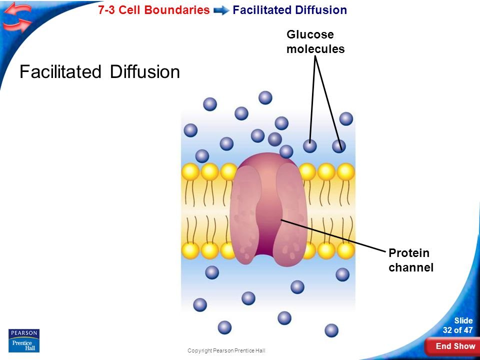 End Show 7-3 Cell Boundaries Slide 32 of 47 Copyright Pearson Prentice Hall Facilitated Diffusion Protein channel Glucose molecules
