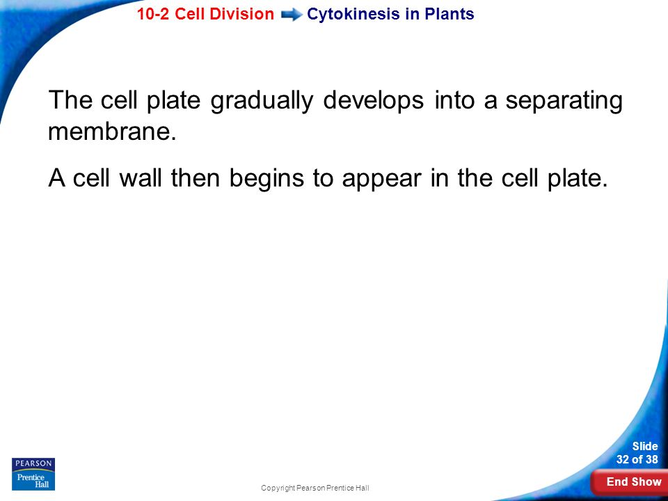 End Show 10-2 Cell Division Slide 32 of 38 Copyright Pearson Prentice Hall Cytokinesis in Plants The cell plate gradually develops into a separating m