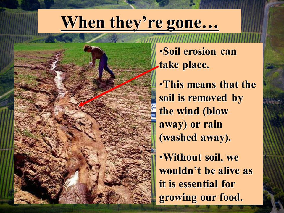 When theyre gone… Soil erosion can take place.Soil erosion can take place.