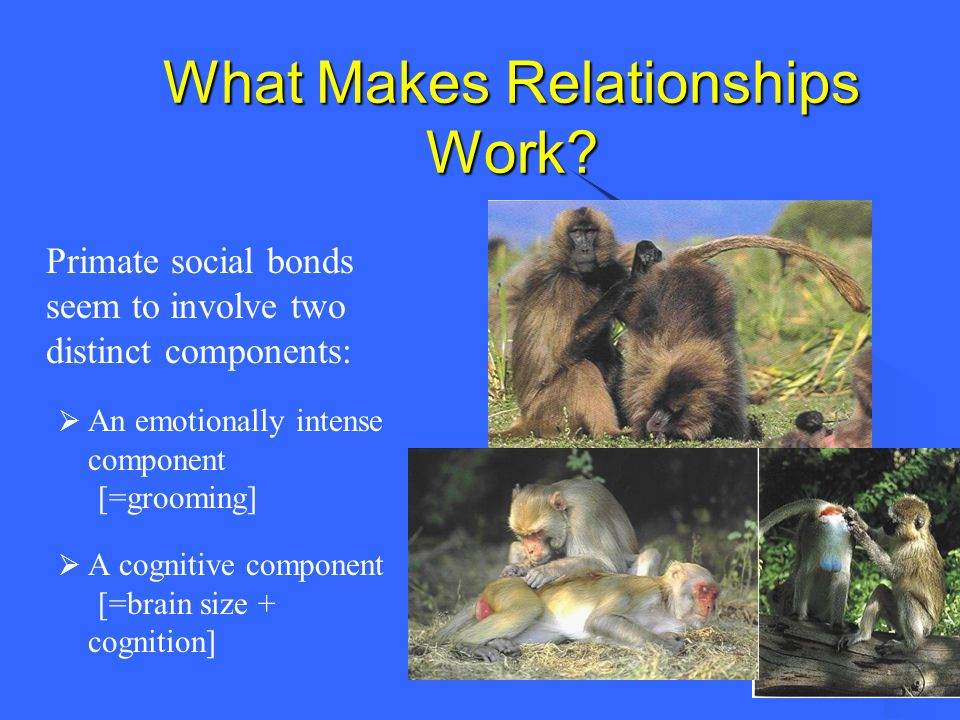 What Makes Relationships Work? Primate social bonds seem to involve two distinct components: An emotionally intense component [=grooming] A cognitive