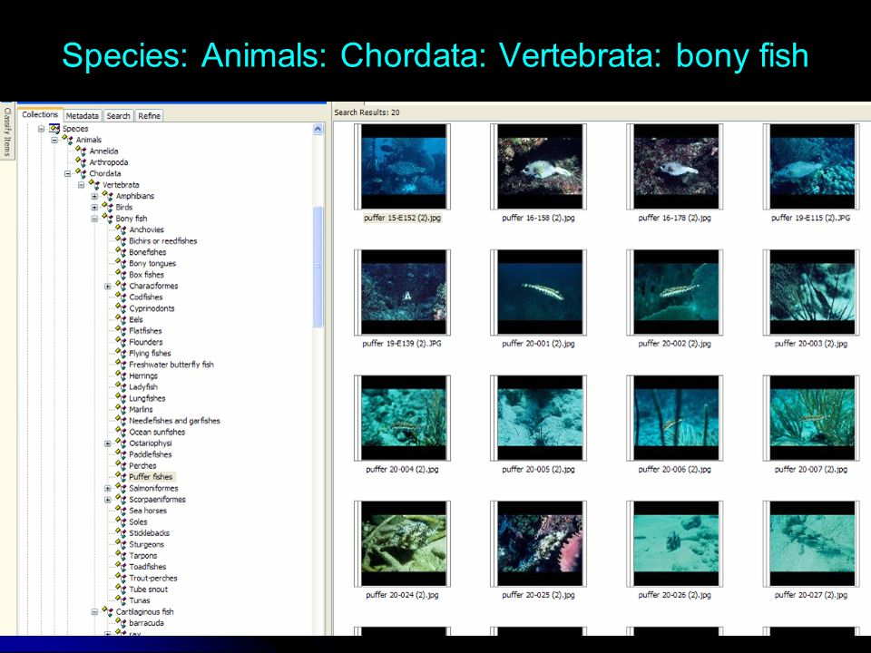 Species: Animals: Chordata: Vertebrata: bony fish