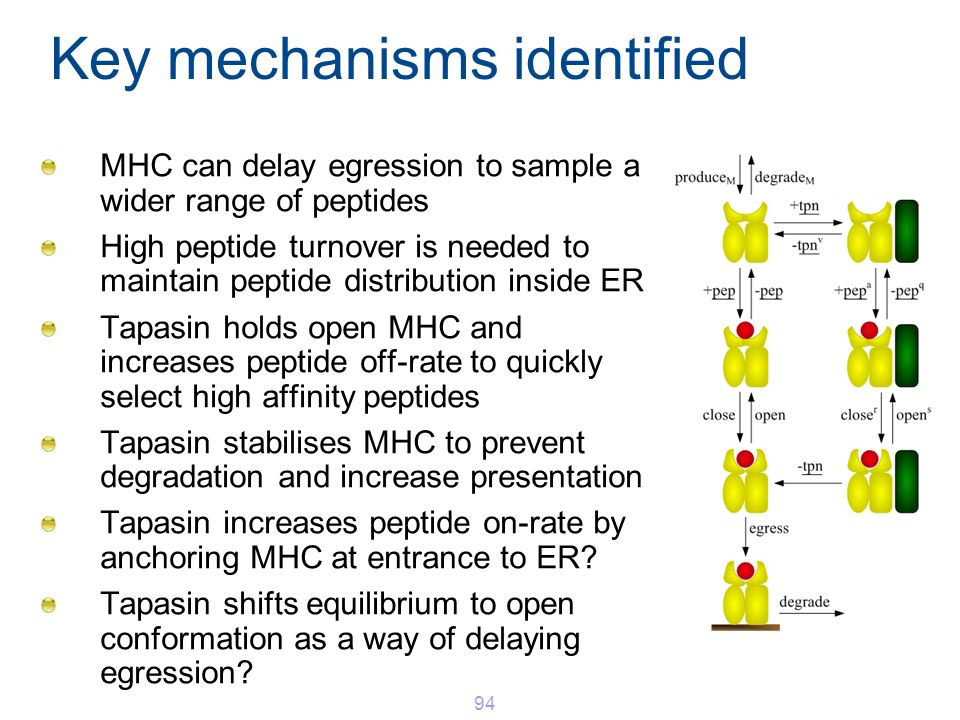 Key mechanisms identified MHC can delay egression to sample a wider range of peptides High peptide turnover is needed to maintain peptide distribution