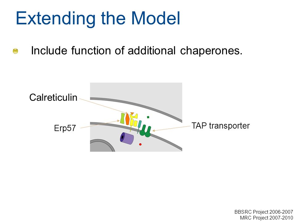 Extending the Model Include function of additional chaperones. Calreticulin Erp57 TAP transporter BBSRC Project 2006-2007 MRC Project 2007-2010
