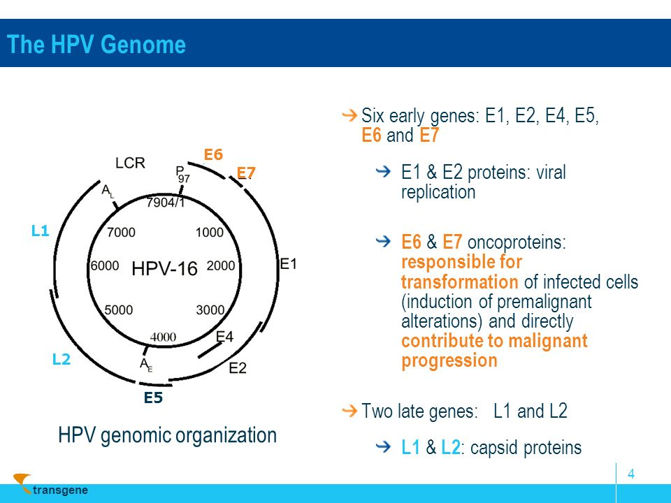 transgene 4 Six early genes: E1, E2, E4, E5, E6 and E7 E1 & E2 proteins: viral replication E6 & E7 oncoproteins: responsible for transformation of inf