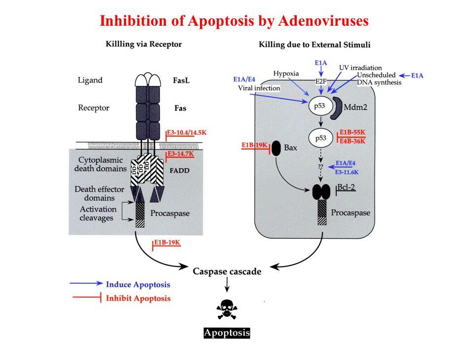 Inhibition of Apoptosis by Adenoviruses