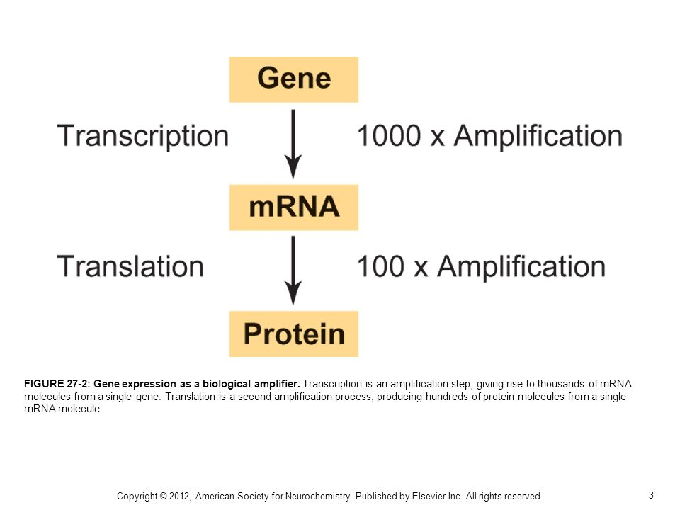 3 FIGURE 27-2: Gene expression as a biological amplifier. Transcription is an amplification step, giving rise to thousands of mRNA molecules from a si