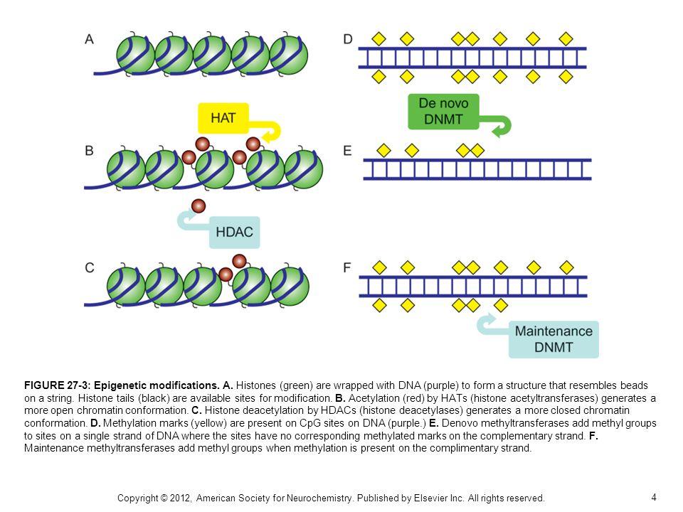 5 FIGURE 27-4: Serotonergic signaling can modulate glucocorticoid receptor (GR) expression.