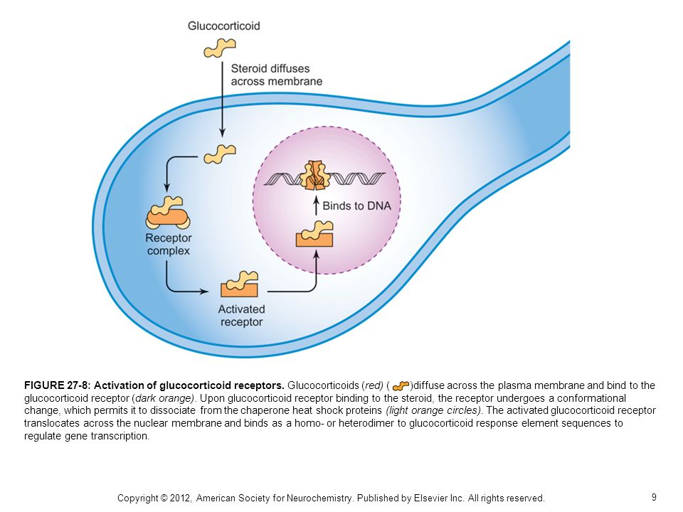 9 FIGURE 27-8: Activation of glucocorticoid receptors.