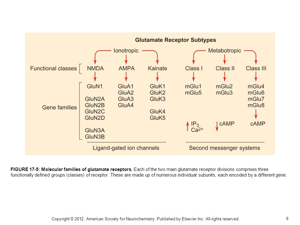 6 FIGURE 17-5: Molecular families of glutamate receptors. Each of the two main glutamate receptor divisions comprises three functionally defined group