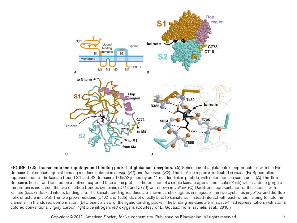 9 FIGURE 17-8: Transmembrane topology and binding pocket of glutamate receptors.