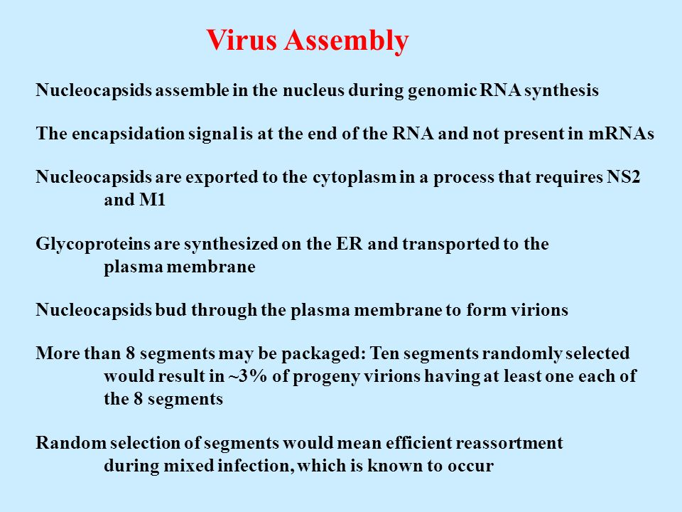 Virus Assembly Nucleocapsids assemble in the nucleus during genomic RNA synthesis The encapsidation signal is at the end of the RNA and not present in