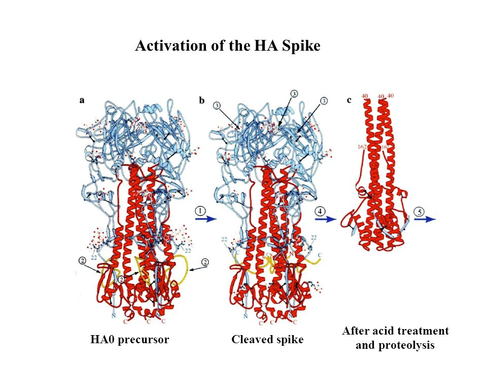 Activation of the HA Spike HA0 precursorCleaved spike After acid treatment and proteolysis