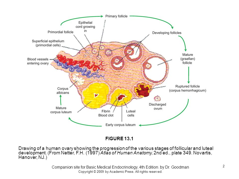 Companion site for Basic Medical Endocrinology, 4th Edition. by Dr. Goodman Copyright © 2009 by Academic Press. All rights reserved. 2 Drawing of a hu