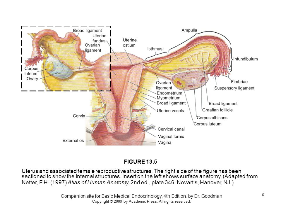 Companion site for Basic Medical Endocrinology, 4th Edition. by Dr. Goodman Copyright © 2009 by Academic Press. All rights reserved. 6 Uterus and asso