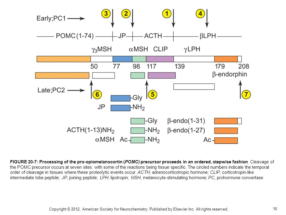 10 FIGURE 20-7: Processing of the pro-opiomelanocortin (POMC) precursor proceeds in an ordered, stepwise fashion. Cleavage of the POMC precursor occur