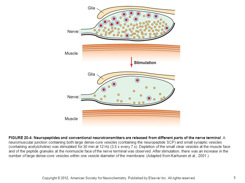 5 FIGURE 20-4: Neuropeptides and conventional neurotransmitters are released from different parts of the nerve terminal. A neuromuscular junction cont