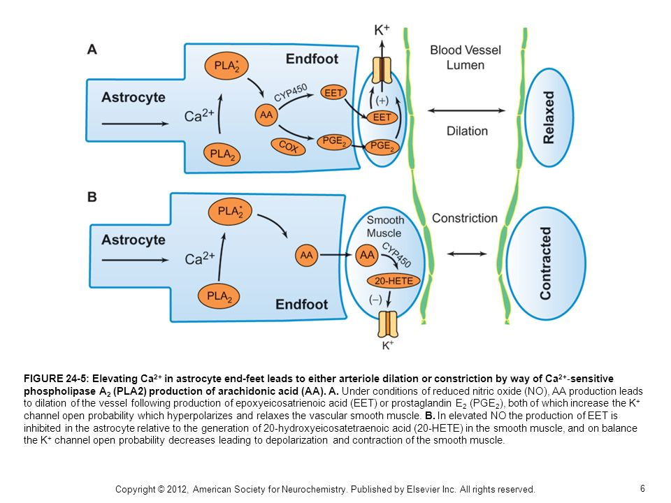 6 FIGURE 24-5: Elevating Ca 2+ in astrocyte end-feet leads to either arteriole dilation or constriction by way of Ca 2+ -sensitive phospholipase A 2 (