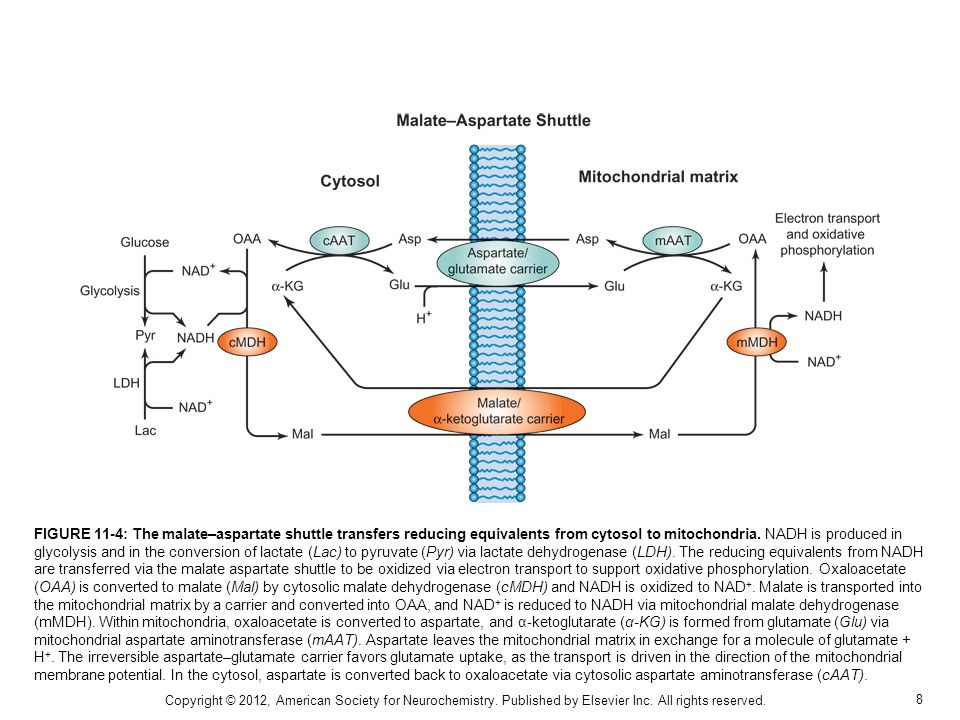9 FIGURE 11-5: Tricarboxylic acid cycle and oxidative phosphorylation.