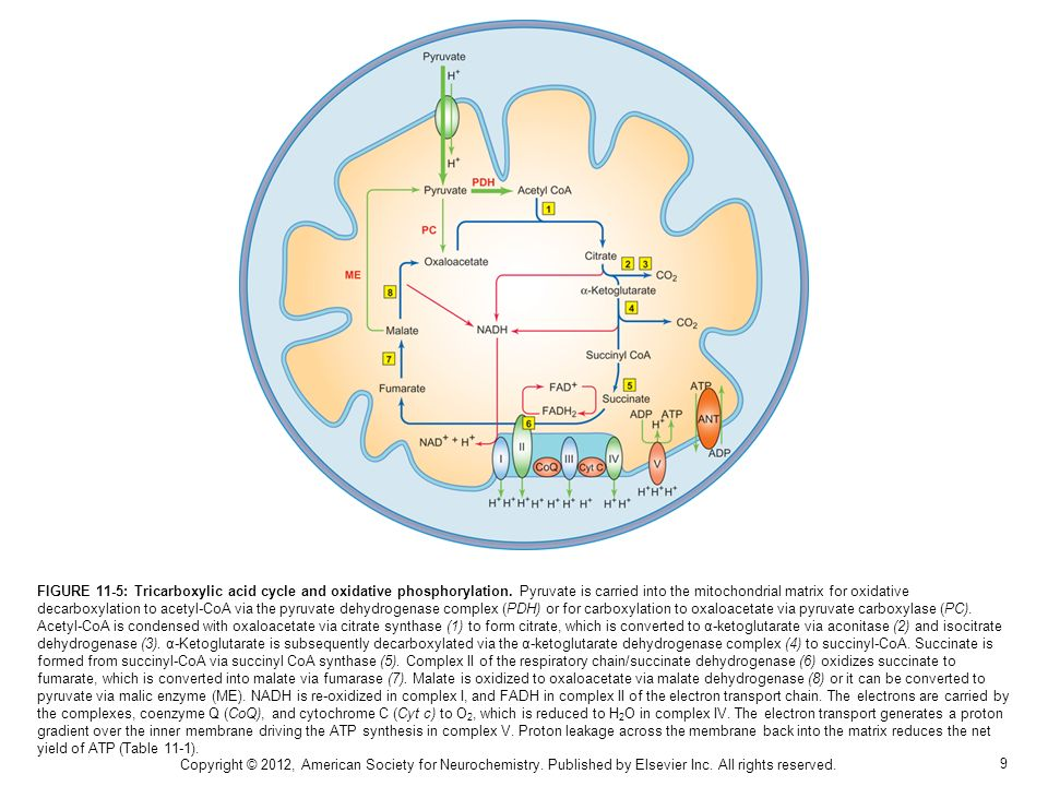 10 FIGURE 11-6: Excitatory and inhibitory neurotransmission have essential interactions with astrocytic metabolism.