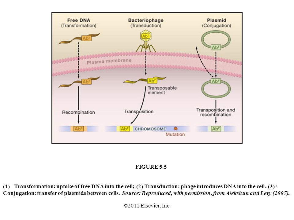 ©2011 Elsevier, Inc. (1)Transformation: uptake of free DNA into the cell; (2) Transduction: phage introduces DNA into the cell. (3) \ Conjugation: tra