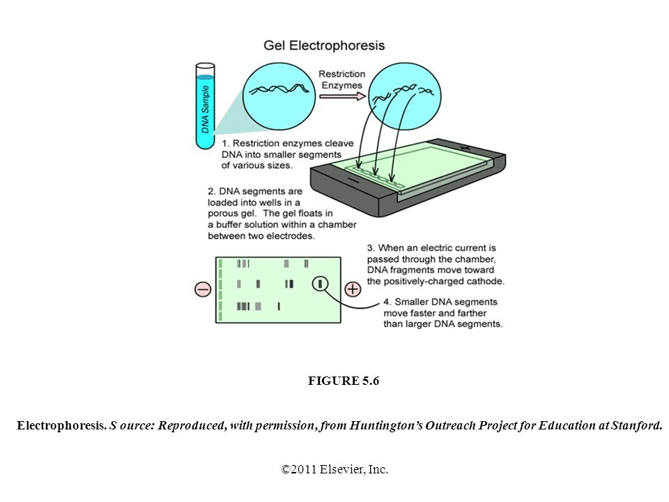 ©2011 Elsevier, Inc. Electrophoresis. S ource: Reproduced, with permission, from Huntingtons Outreach Project for Education at Stanford. FIGURE 5.6