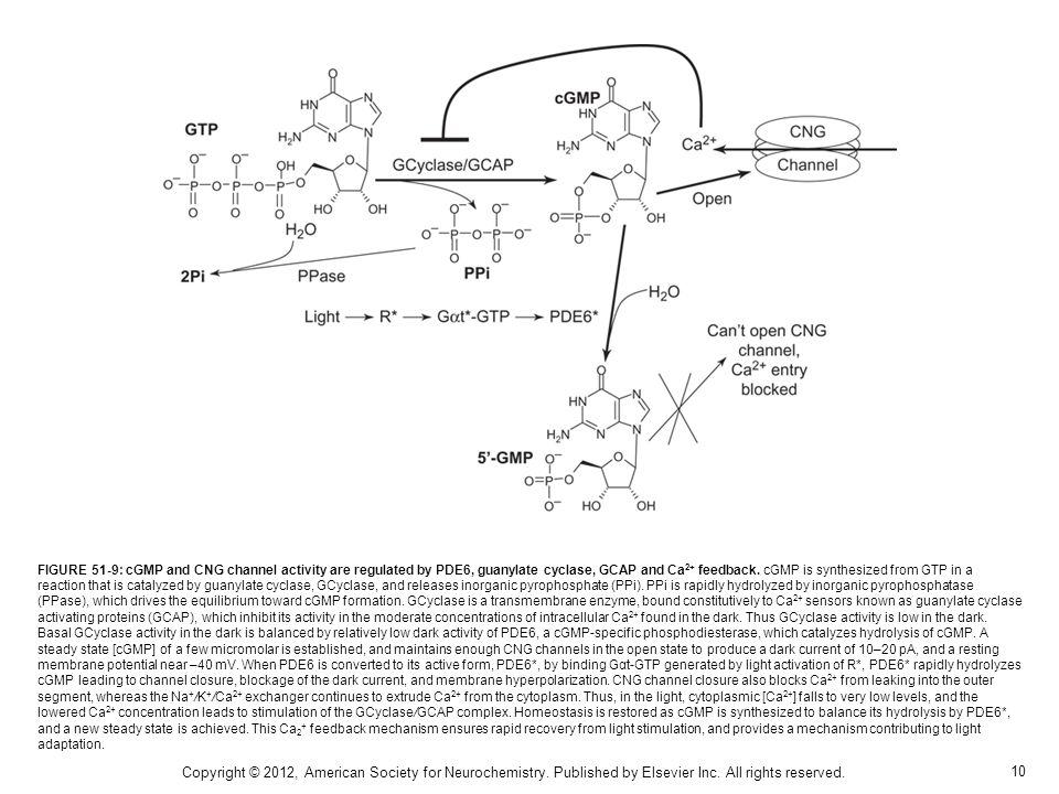 10 Copyright © 2012, American Society for Neurochemistry. Published by Elsevier Inc. All rights reserved. FIGURE 51-9: cGMP and CNG channel activity a