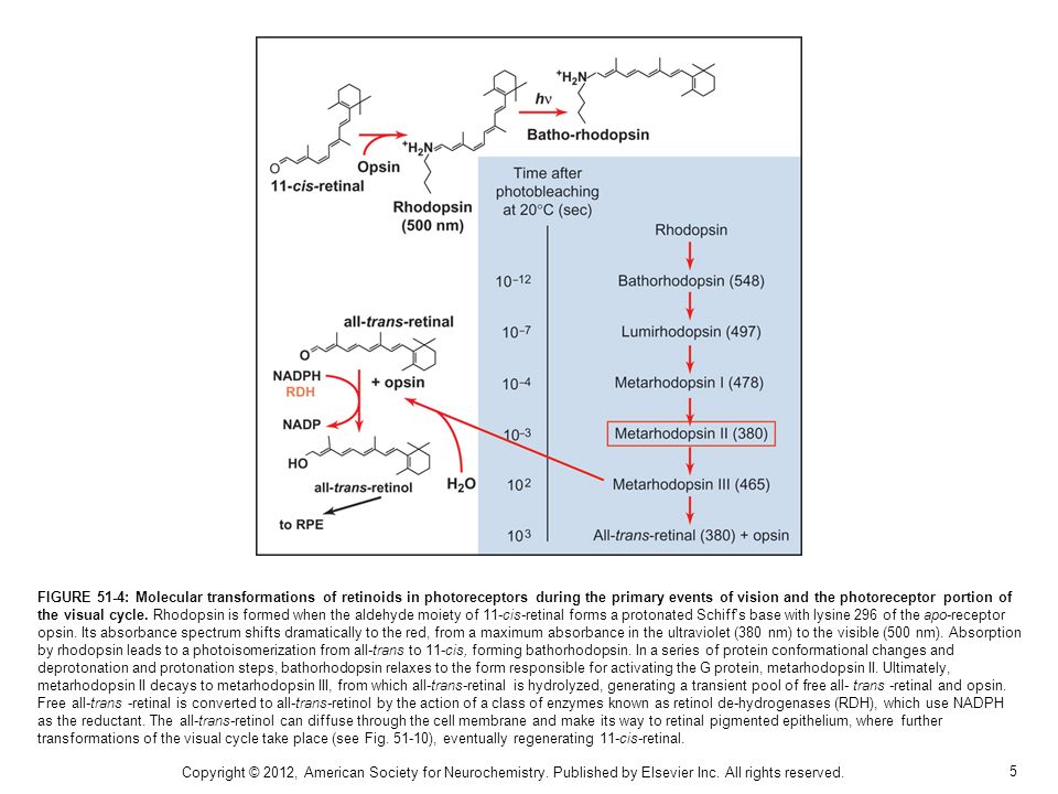 5 FIGURE 51-4: Molecular transformations of retinoids in photoreceptors during the primary events of vision and the photoreceptor portion of the visua