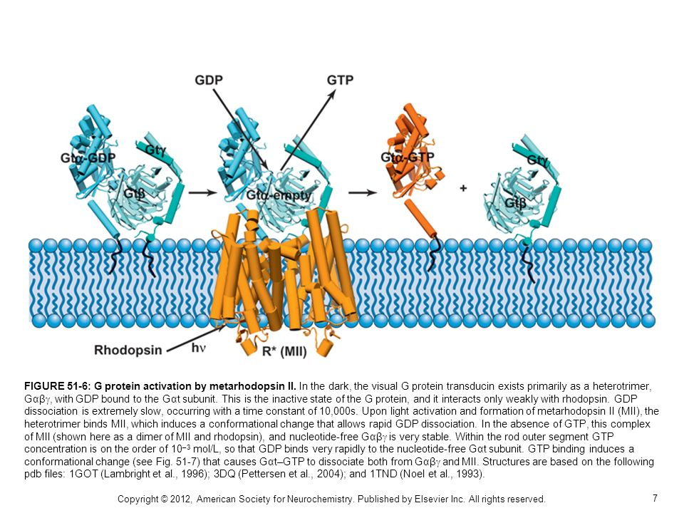 7 FIGURE 51-6: G protein activation by metarhodopsin II. In the dark, the visual G protein transducin exists primarily as a heterotrimer, Gαβ, with GD