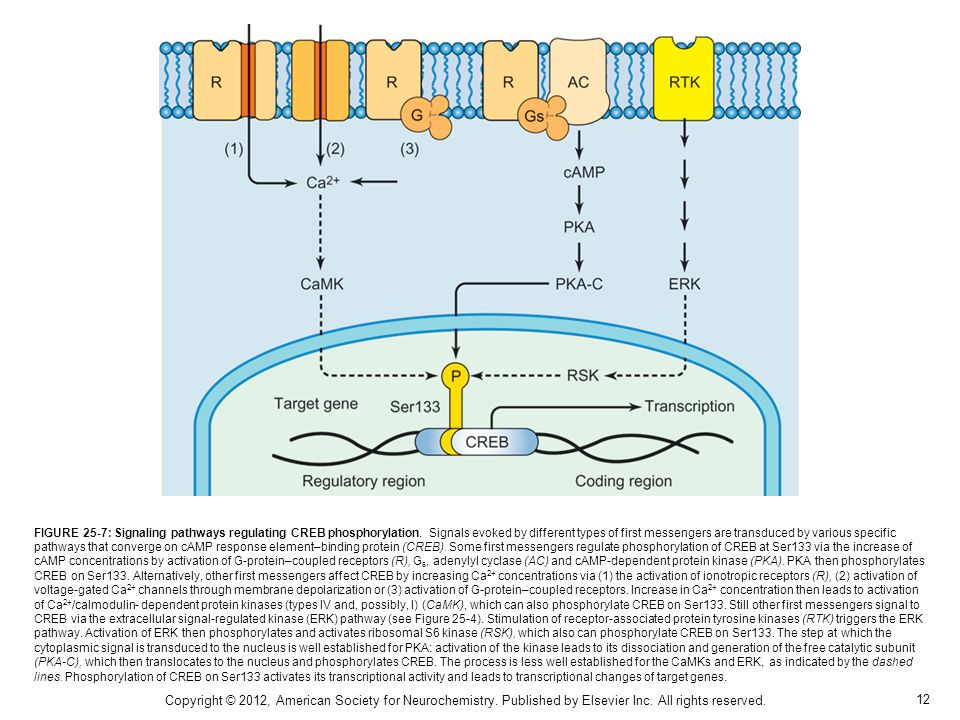 12 FIGURE 25-7: Signaling pathways regulating CREB phosphorylation. Signals evoked by different types of first messengers are transduced by various sp