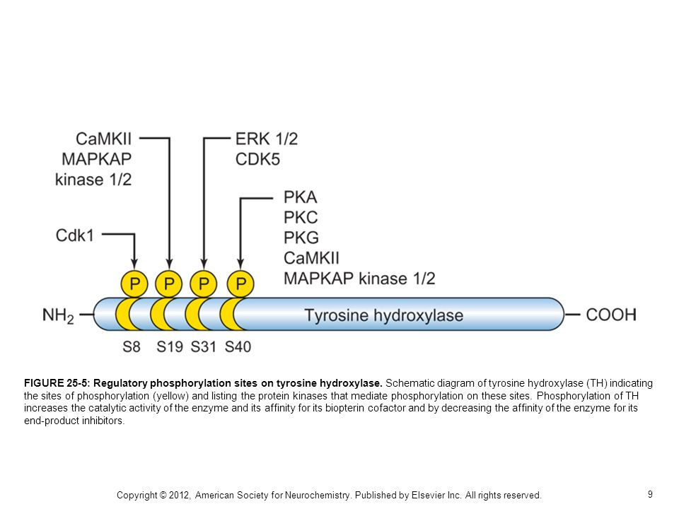 9 FIGURE 25-5: Regulatory phosphorylation sites on tyrosine hydroxylase. Schematic diagram of tyrosine hydroxylase (TH) indicating the sites of phosph