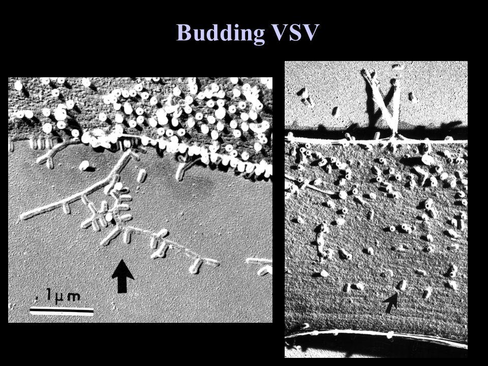 Budding VSV