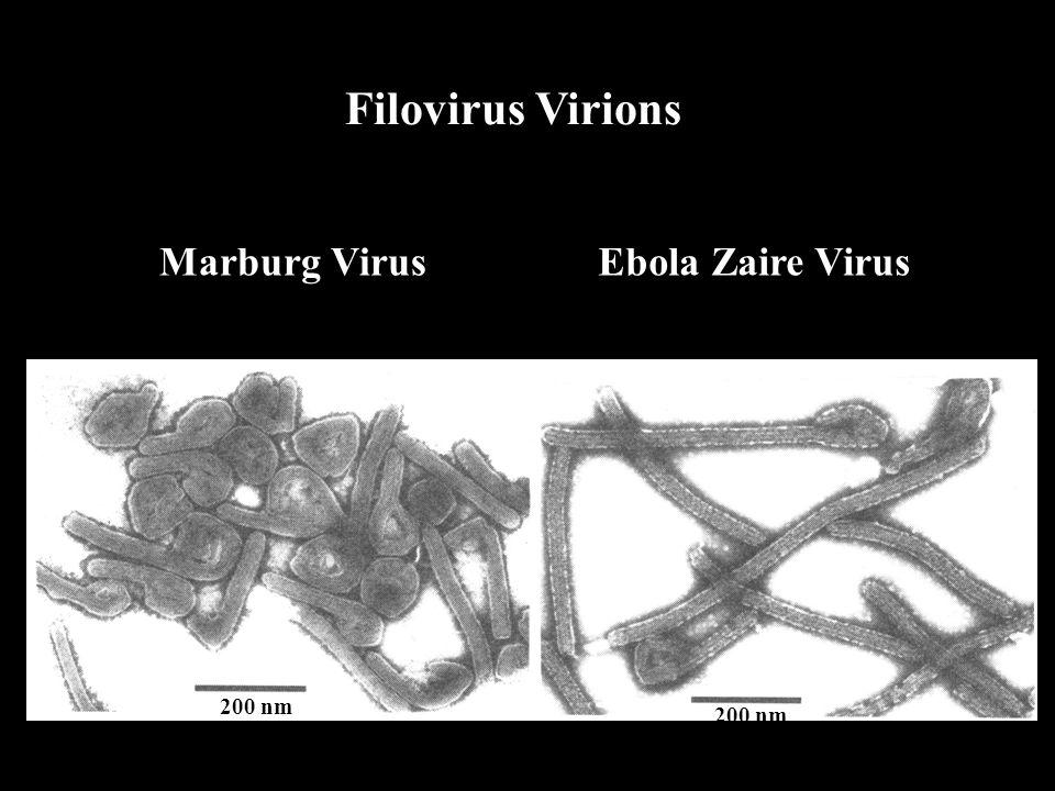 Filovirus Virions Marburg VirusEbola Zaire Virus 200 nm
