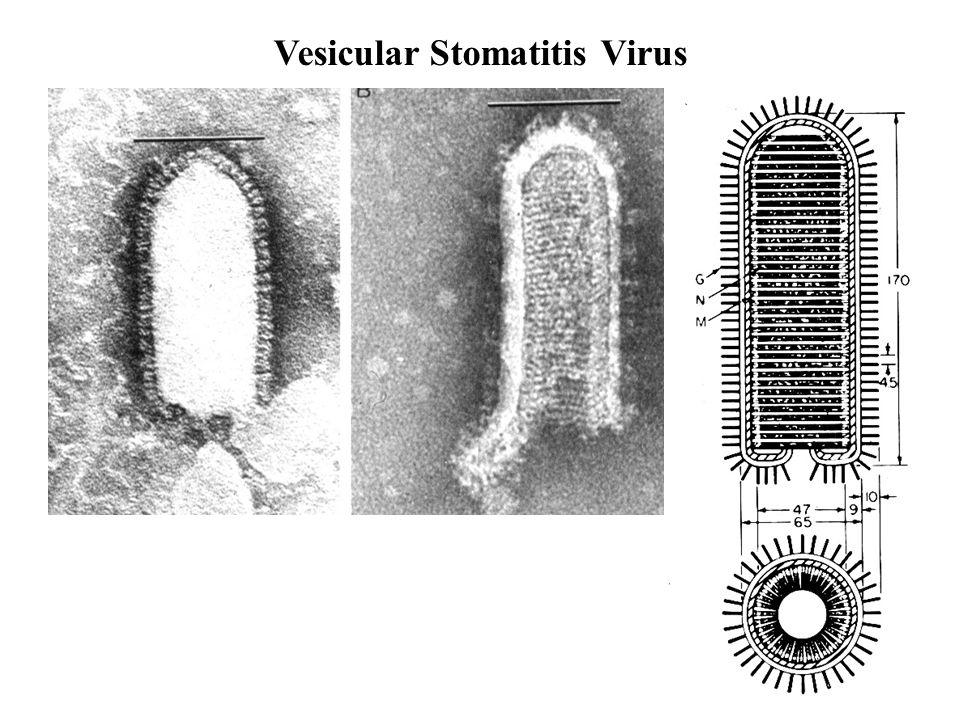 Borna Disease Virus Borna disease virus is a (-)RNA virus of 9 kb.