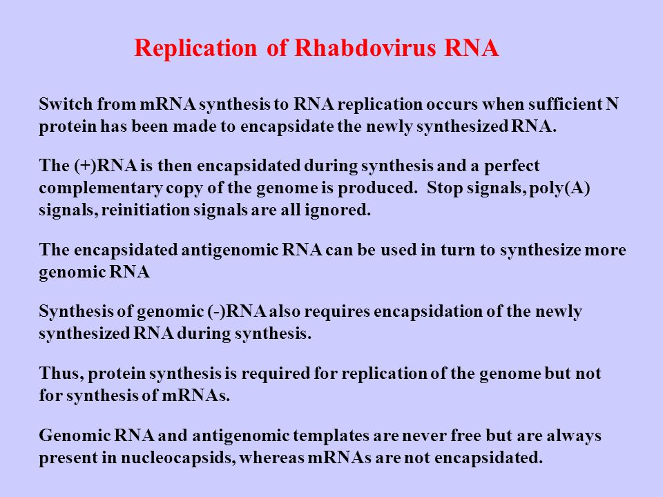 Replication of Rhabdovirus RNA Switch from mRNA synthesis to RNA replication occurs when sufficient N protein has been made to encapsidate the newly s