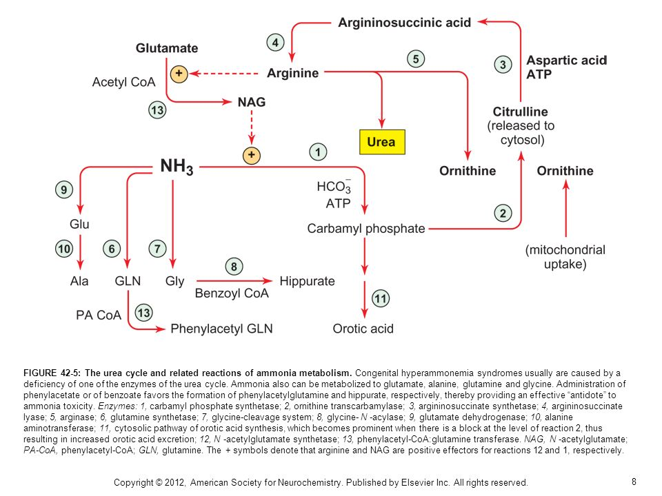 8 FIGURE 42-5: The urea cycle and related reactions of ammonia metabolism.