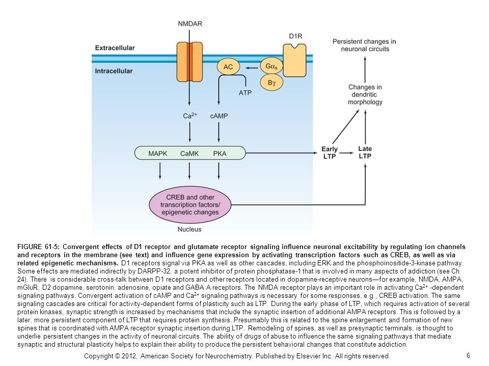 6 FIGURE 61-5: Convergent effects of D1 receptor and glutamate receptor signaling influence neuronal excitability by regulating ion channels and receptors in the membrane (see text) and influence gene expression by activating transcription factors such as CREB, as well as via related epigenetic mechanisms.